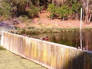 Ducks all lined up at Sydney Park