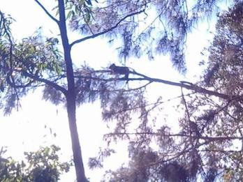 koala sunning in a she-oak