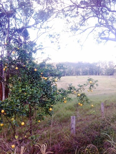 bush lemons