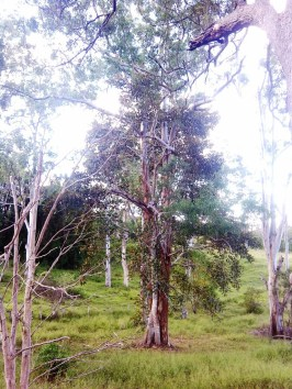 strangler fig and ghost gums