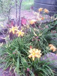 welcoming Daylilies
