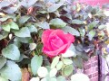 good bye ruby tuesday rose