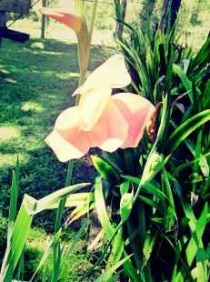 Apricot Gladioli