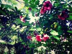 Cherry Allamanda