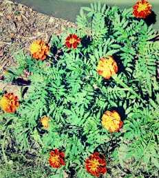 fiery Marigolds