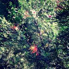 Grevillea and pale pink Hibsiscus