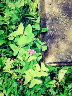 pretty purple Oxalis... a weed!