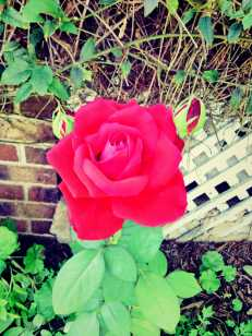 time lapse... red rose bloom
