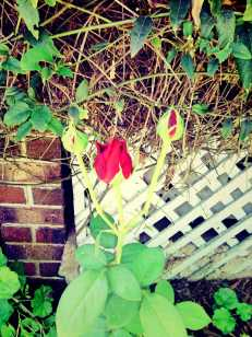 trio of red rosebuds