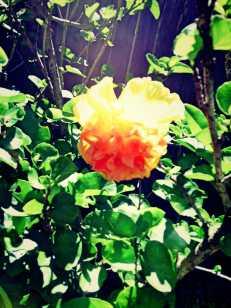 sunlit yellow Hibiscus