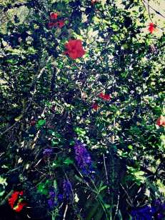 tangerine Hibiscus and purple Butterfly Bush