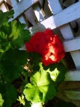 geraniums at the front