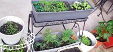 Seedlings - marigolds, rocket, eschallots, herbs, radish, carrots, celery, basil and red capsicum