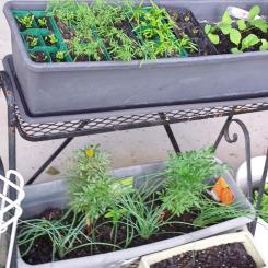 Seedlings - marigolds, rocket, eschallots, herbs, radish, carrots, celery, basil and red capsicum