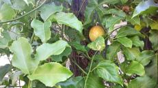 Ripening passionfruit on the tank