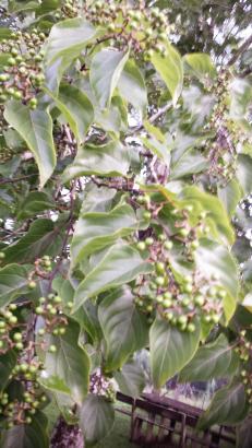 Japanese Raisin Tree