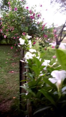 Along the front fence, Diamantina Agathe and Cherry Allamanda
