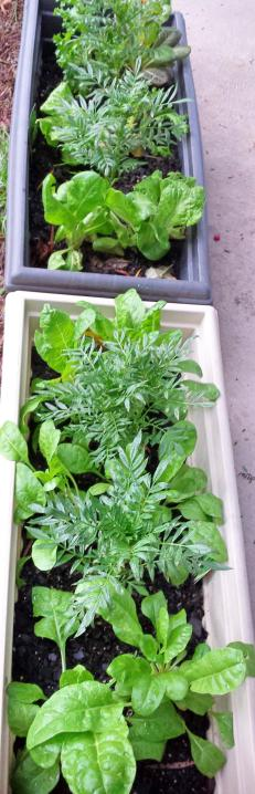 Marigold, lettuce and spinach seedlings