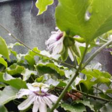 Passionfruit flowers on the tank