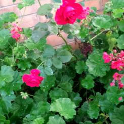 Old red rose and geraniums in the front garden
