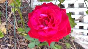 Red rose - front yard treasure