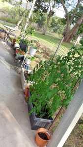Vege garden in pots