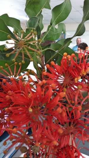 Stenocarpus sinuatus aka Queensland Firewheel Tree