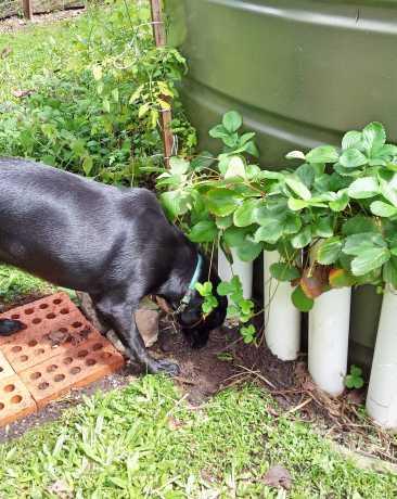 Diesel bone gardening