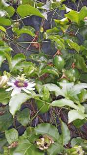 and a passionfruit vine...