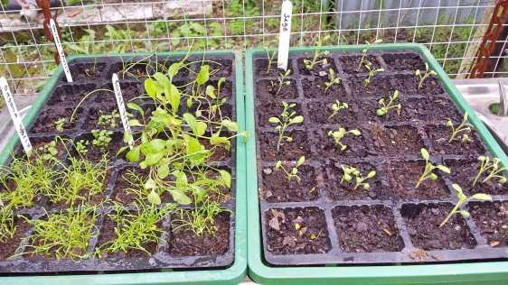 Sage, oregano, chamomile, rocket and onion seedlings