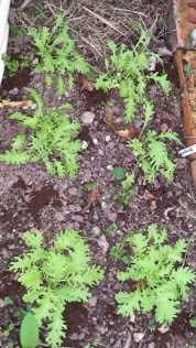 Wasabi lettuce