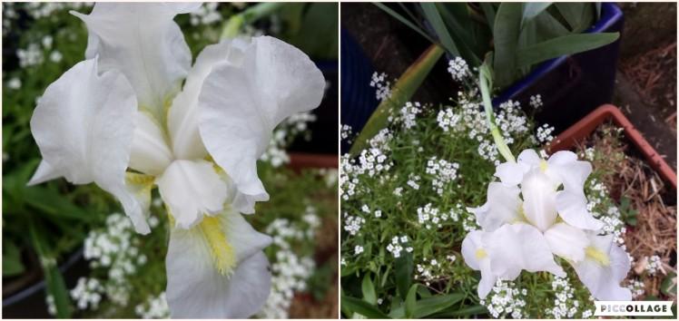 White iris 3 March 2020
