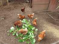 Communal chickens in neighbour's coop..