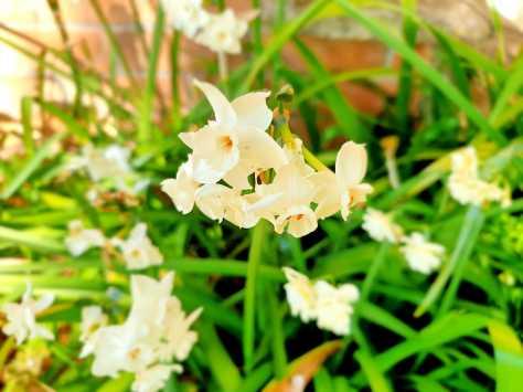 Front garden_jonquils