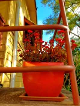 Front garden_kalanchoe
