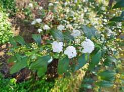 Front garden_May Bush