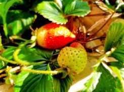 Garden_almost ripe strawberries