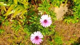 garden_daisies