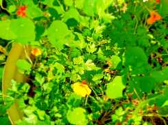 Garden_Italian parsely and nasturtiums