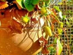 Garden_new strawberries
