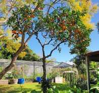 Oranges and sunshine #inmygarden.