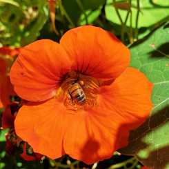 Bee-friendly nasturtium