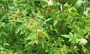 Native raspberries growing #inmygarden.