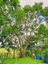 Jacaranda tree shade in summer, sun in winter.