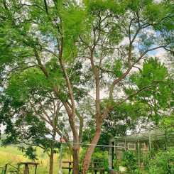 Jacaranda tree.