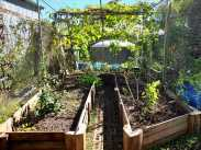 Edibles cage garden. Trees: Brazilian Cherry; Malaysian Guava; Prestons Prolific Fig. Old chilli and eggplants, dragon fruit. Broad beans, white lupins and sweet peas sowed #inmygarden.