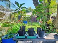 New fruit trees: Nijisseiki Nashi pear: Kwai Mai Pink lychee; Lamb Hass and self sown Hass avocado; Black Sapote to go #inmygarden.