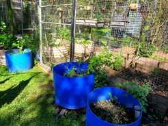 Relocated parsley and basil, plus coriander seedlings #inmygarden.