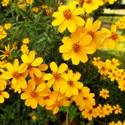 Look on the bright side: Mexican Marigold in my winter garden