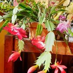 Look on the bright side: Schlumbergera truncata in my winter garden